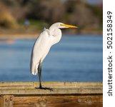 Great Egret  Common Egret ...