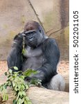 Small photo of Adult male silverback gorilla eating and thinking