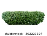 scandent shrub isolated on white | Shutterstock . vector #502223929