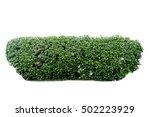 scandent shrub isolated on white | Shutterstock . vector #502223929