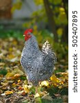 rooster in autumn garden on a... | Shutterstock . vector #502407895