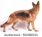 beautiful german shepherd on a... | Shutterstock . vector #502480231