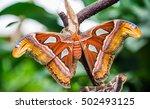 Attacus Atlas Butterfly