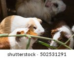 group of guinea pig or cavy | Shutterstock . vector #502531291