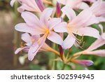 Small photo of Amaryllis belladonna pink flower blooms in summer