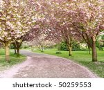 Rows Of Beautiful Cherry Trees...