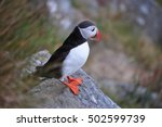 Small photo of Puffin. Puffins are any of three small species of alcids in the bird genus Fratercula with a brightly coloured beak during the breeding season.
