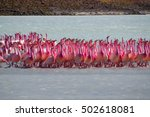 A Large Group Of Flamingos In...