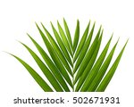 coconut leaf isolated on white... | Shutterstock . vector #502671931