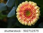 close up of gerbera flower in... | Shutterstock . vector #502712575