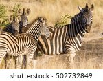 a group of four plains zebra ... | Shutterstock . vector #502732849