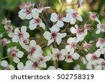 Flowering Of Indian Rhubarb In...