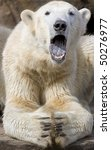 Portrait of Polar Bear yawning with open mouth - stock photo