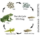 the life cycle of a frog | Shutterstock .eps vector #502853791