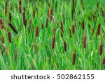 Flowering Cattail In A Swamp...