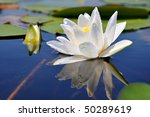 White Lily In Water On The Lake