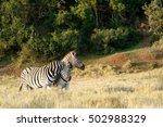 A Zebra Giving A Good Rub...