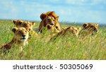 Lion Pride Soaking Up The Sun...