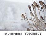 sparrows sitting in bush in... | Shutterstock . vector #503058571