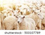 Livestock Farm  Flock Of Sheep
