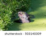 Close Up Of An Otter Eating...