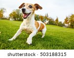 Stock photo active frisky small pet playing dancing on the grass smiling cute jack russell terrier in the 503188315