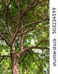 Small photo of Shaitan wood (Alstonia scholaris (L) R.Br.)