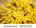 Many Ant Workers On Yellow...