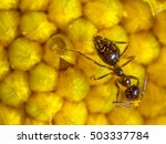 Ant On Flower. Close Up