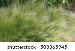 Small photo of Barley maned - decorative grass. Shines in the wind, and reminds steppe feather grass and gold horse's mane.
