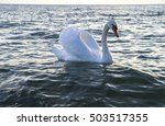 Swan  Ohrid Lake  Macedonia