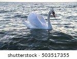Swan  Ohrid Lake  Macedonia