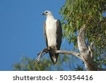 white bellied fish eagle in... | Shutterstock . vector #50354416