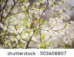 sparrow sitting on a flowering... | Shutterstock . vector #503608807