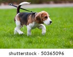 Stock photo beagle dog on the scent green grass 50365096