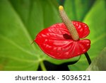 Anthurium Exotic Flower With...