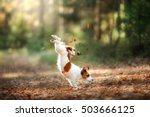 Dog Jack Russell Terrier Jump...