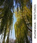 Beautiful Willow Trees In The...