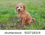Stock photo cute red toy poodle puppy sitting outdoors on a green grass 503718319