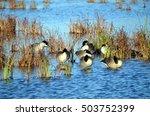 Canada Geese sleeping at Horicon Marsh, Wisconsin