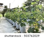 young cantaloupe growing in a... | Shutterstock . vector #503762029