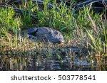 American alligator in the Okefenokee Swamp in Georgia