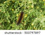 Salt marsh moth caterpillar ...