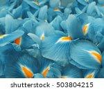 turquoise iris flowers. garden... | Shutterstock . vector #503804215