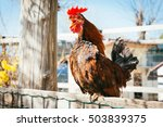 Rooster Crowing On Wooden Fenc...