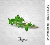 thyme leaves.vector illustration | Shutterstock .eps vector #503845159