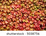 Close up of colorful autumn leaves growing on a wall. - stock photo