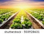 lettuce plant on field... | Shutterstock . vector #503928631