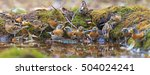 flock of bramblings on watering ... | Shutterstock . vector #504024241