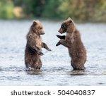 Two Cute Brown Bear Cubs Play...